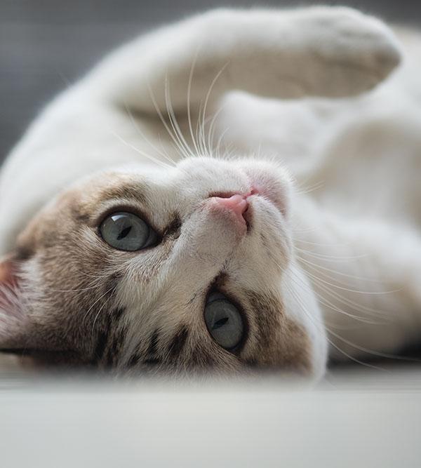 chat-dos-veterinaire-ransart-charleroi